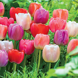 Darwin Hybrid Mixed Mid-Season Blooming Tulips