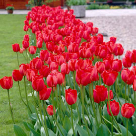 Mayflowering Tulip Kingsblood