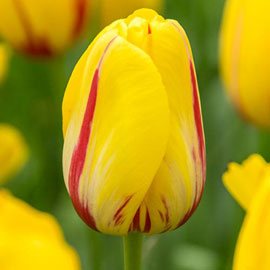 Mayflowering Tulip La Courtine