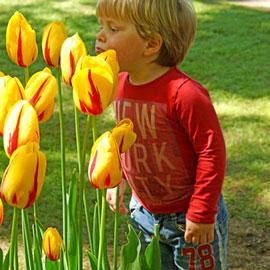 Mayflowering Tulip La Courtine