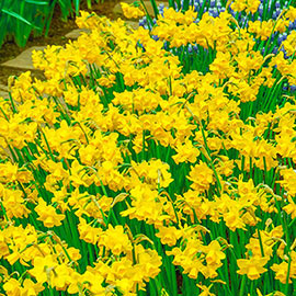 Jonquilla Daffodils