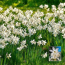 Naturalizing Daffodils