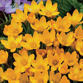 Giant Crocus Golden Yellow (C. vernus)