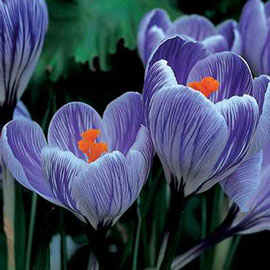 Giant Crocus Pickwick (C. vernus)