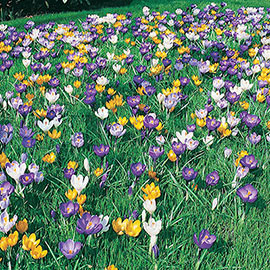Giant Crocus Mix (C. vernus)
