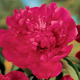 Double Peony Karl Rosenfield