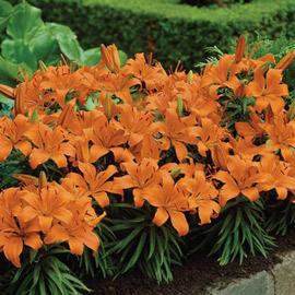 Asiatic Lily Apeldoorn