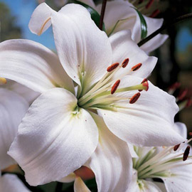 Asiatic Lily Mont Blanc