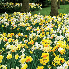 Mixed Daffodils All Colors and Kinds