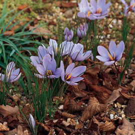 Fall Blooming Crocus