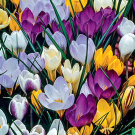 Species Crocus