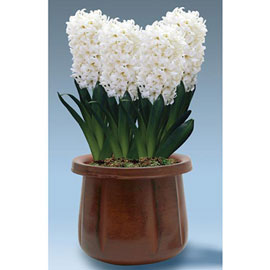 Hyacinth Carnegie
