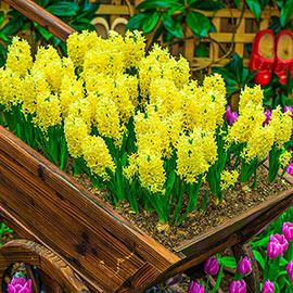Hyacinth City of Haarlem