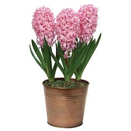 Hyacinth Pink Frosting (Fondant)