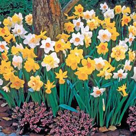 Mixed Daffodils Bushels Without Basket