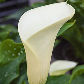 Free-Flowering Hybrid Calla Lily Intimate Ivory