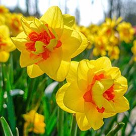 Double Daffodil Tahiti
