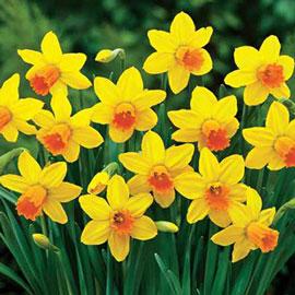 Cyclamineus Daffodil Jetfire