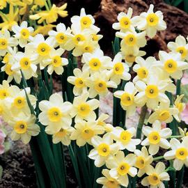 Tazetta Daffodils