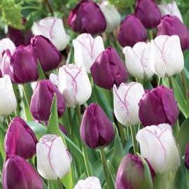 Triumph Tulip Purple Perfection Duo