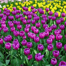 Triumph Tulip Passionale
