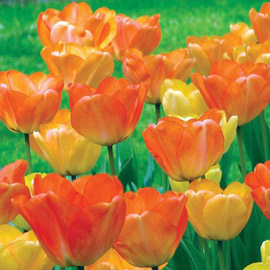 Darwin Hybrid Tulip Daydream