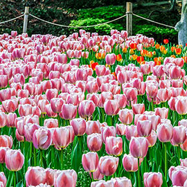 Darwin Hybrid Tulip Ollioules