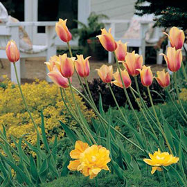Late-Flowering Tulip Blushing Beauty