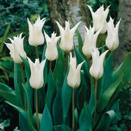 Lily Flowering Tulip Tres Chic