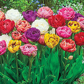 Double Flowering Tulips