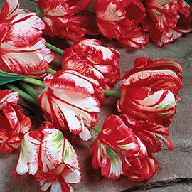 Parrot Tulip Estella Rijnveld