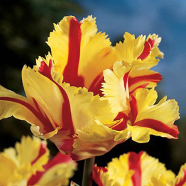 Parrot Tulip Flaming Parrot