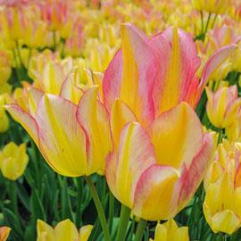 Bouquet Tulip Antoinette