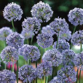 Allium caeruleum (azureum)