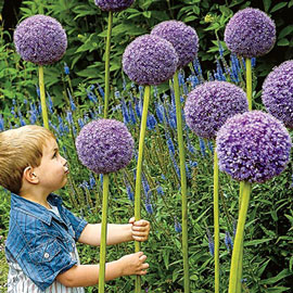 Deer Resistant Alliums