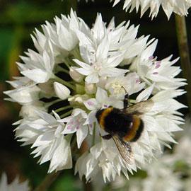Allium Graceful