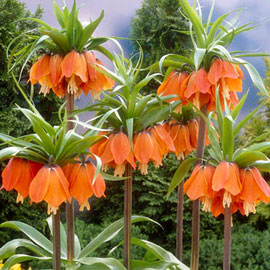 Fritillaria imperialis rubra (Red Crown)