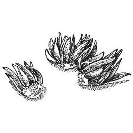 French Peony Ranunculus Mix