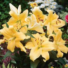 Oriental Lily Golden Star Gazer