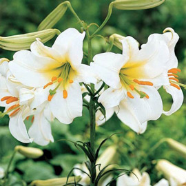 Trumpet Lily Regale Album