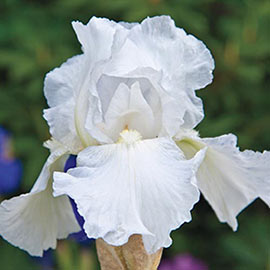 Reblooming German Iris Immortality