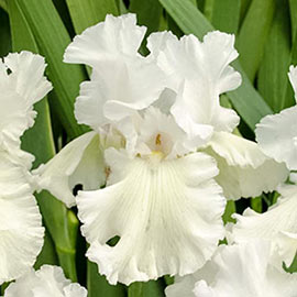 Reblooming German Iris Immortality