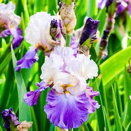 Reblooming German Iris Mother Earth