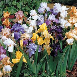 Deer Resistant German Irises