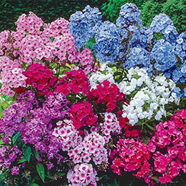 Giant Hardy Phlox Mix