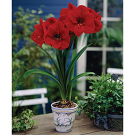 Diamond Amaryllis Red Lion