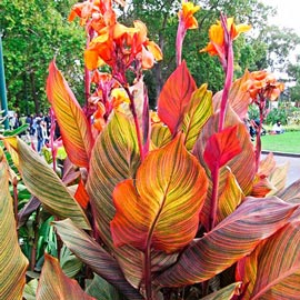 Giant Cannas