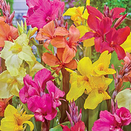Giant Cannas Mixed