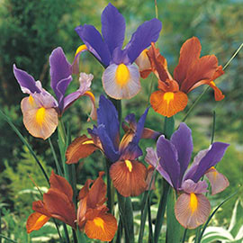 Dutch Iris Beauty Mix
