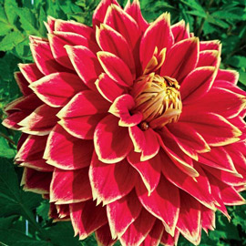 Giant Dinnerplate Dahlia Dutch Carnival